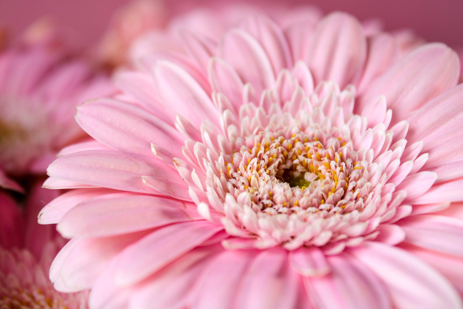 gebera bloem fluweel blaadjes